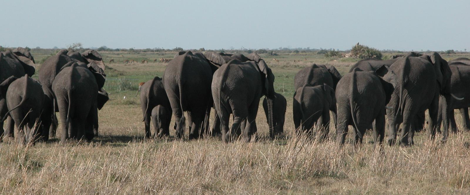 Botswana - Elefanten-Abschied